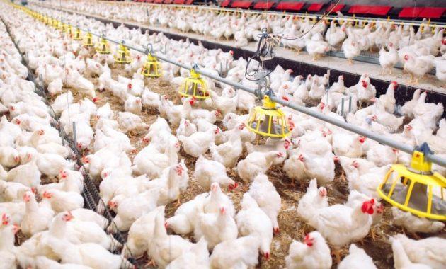 Cara menghitung FCR dan IP Ayam broiler