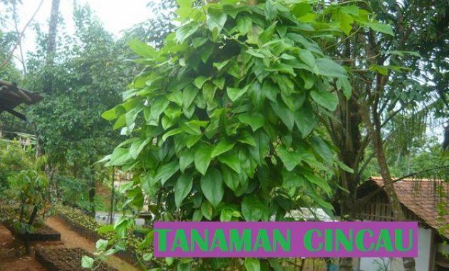 tanaman cincau