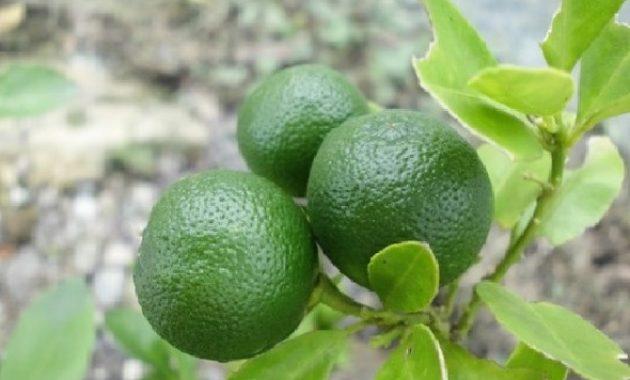 jeruk nipis untuk wajah jerawat