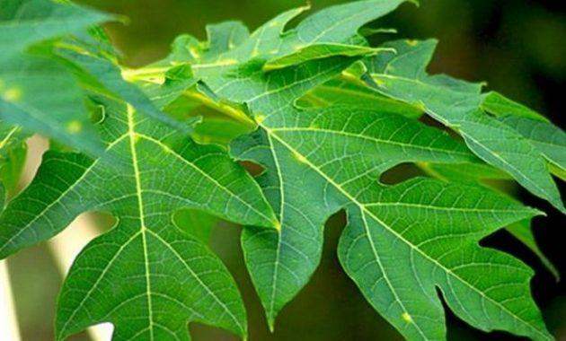 Manfaat Daun Pepaya Obat Jerawat Herbal Alami